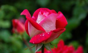 Quelle couleur de roses choisir